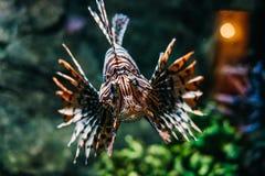 Tiger Fish Stock Afbeeldingen