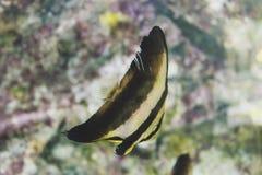 Tiger Fish Fotografia Stock Libera da Diritti