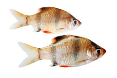 Tiger Fishes Stock Photo