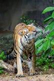 Tiger flick water Royalty Free Stock Photo