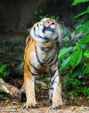 Tiger flick water Stock Photo