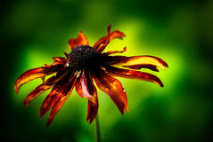 Tiger Flower Stock Photography
