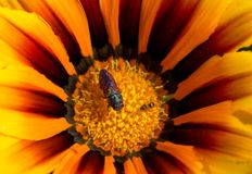 Tiger flower with fashion bug and friend Royalty Free Stock Image