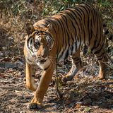 Portrait of tiger. The tiger is focusing on something seriously. Panthera tigris corbetti in the natural habitat, wild dangerous animal in the natural habitat royalty free stock photography