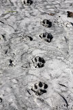 Tiger foot prints Stock Photo