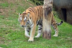 A standing tiger smells the air. A tiger in the foreground, standing, profile, on a green meadow Royalty Free Stock Photo