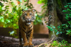 Tiger in forest. A tiger opening mouth is standing in a forest, staring at camera Stock Images