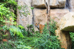 Tiger in forest Royalty Free Stock Photography