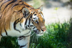 Tiger in forest Royalty Free Stock Photo