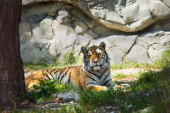 Tiger in forest Royalty Free Stock Image