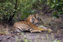 Tiger in the Forest Stock Photography