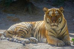 Tiger in forest. Tiger looking something with fierce eyes royalty free stock photos