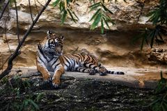 Tiger in the forest royalty free stock photos