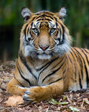 Tiger - Formal Portrait Royalty Free Stock Photos