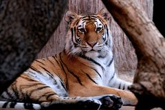 Tiger framed between branches. Tiger staring me down through branches that created frame Stock Photos