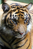 Tiger, friendly animals at the Prague Zoo. royalty free stock photography