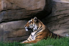 Tiger in front of the rock. Zoo and wildlife Royalty Free Stock Photography