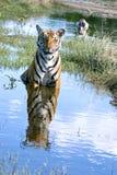 Tiger - fun in water stock photo