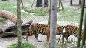 Tiger funny bites a tail of another tiger stock footage