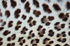 Tiger fur 02 Royalty Free Stock Photography