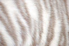 Tiger fur. White tiger fur close up Royalty Free Stock Images