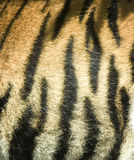 Tiger fur Stock Photography