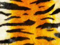 Tiger fur. Great tiger fur texture cloeup stock photo