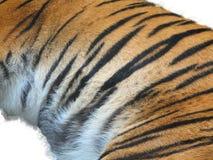 Tiger fur. On the white background Stock Photos