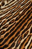 Tiger fur background Royalty Free Stock Image