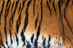 Animal skins texture of Tiger. Tiger fur background texture image background royalty free stock photo
