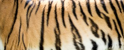 Tiger fur close-up - background Stock Photos
