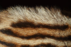 Tiger fur closeup Stock Photography