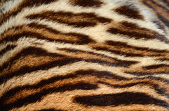 Tiger fur closeup. Closeup of tiger fur coat royalty free stock photos