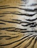 Tiger Fur de un tigre vivo Imagenes de archivo