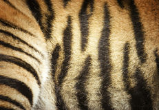 Tiger fur detail. Sumatran tiger striped fur - with outline of the hindquarters Stock Image