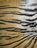 Tiger Fur from a live Tiger. A close up photo of a striped tiger's belly from a tiger at an animal sanctuary.  He was taking a nap and so I had a good chance to Stock Images