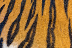 Tiger Fur, Tiger Leather Royalty-vrije Stock Afbeelding