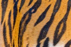 Tiger Fur, Tiger Leather Stockfoto