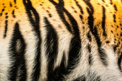 Tiger furs background. Wild cat in zoological garden in Czech stock photography
