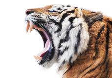 Tiger fury. Angry roaring tiger isolated on white background with copy space Stock Images