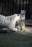 Tiger Game. White tigers , Mother and son playing Royalty Free Stock Images