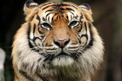 Tiger Gaze. Female tiger's head from front on Stock Photography