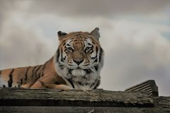 Tiger Gaze imagenes de archivo