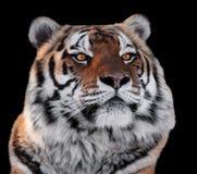 Tiger gehen mit der Gelbaugennahaufnahme voran, die auf Schwarzem lokalisiert wird Stockfotos