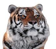 Tiger gehen mit der Gelbaugennahaufnahme voran, die auf Weiß lokalisiert wird Stockbild