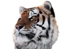 Tiger gehen mit der hellen Augennahaufnahme voran, die auf Weiß lokalisiert wird Stockfotografie