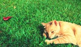 Tiger-gestreifte Katze auf Gras mit rotem Blatt Stockfotografie