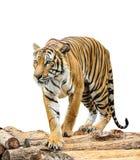 Tiger getrennt auf weißem Hintergrund Stockfoto