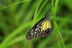 Tiger glassy. A butterfly, tiger glassy is resing on the grass peacefully royalty free stock photos