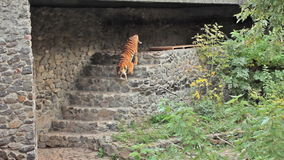 Tiger Goes Down banque de vidéos